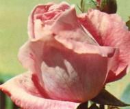 Фото нежно-розовой распустившейся розы и бутона