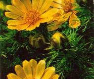 Адонис (горицвет) весенний