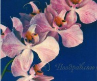 Розовая орхидея