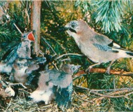 Сойка у гнезда, в котором находятся три птенца