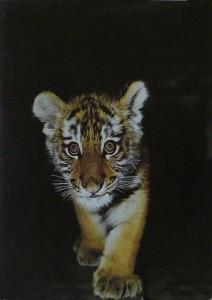 открытка с тигром