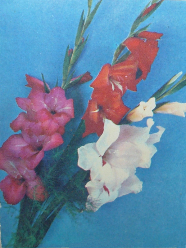 Открытки с цветами гладиолусами 304